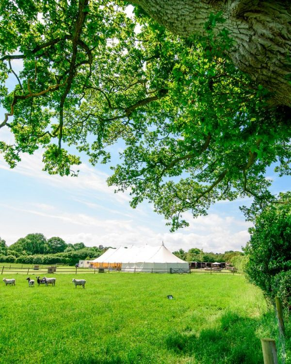 White marquee in field with sheep grazing and a large oak tree in the foreground